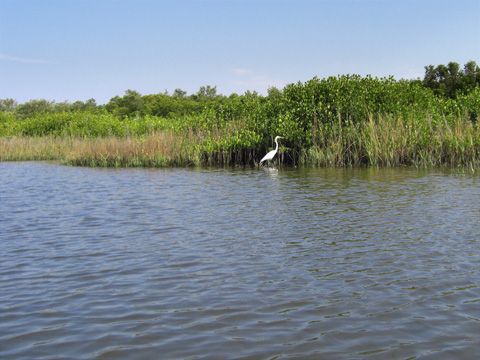 Snowy White Egret along the shore in Clam Bayou